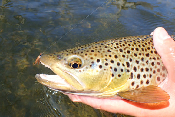 Fly Fishing April: Grannom Caddis Hatch