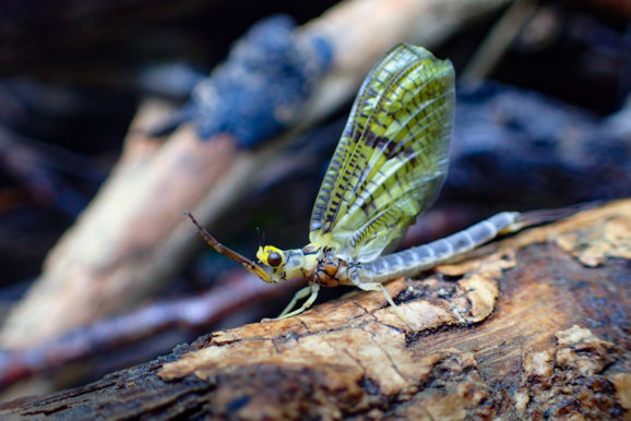 Dry Fly Fishing: May Hatches in Forge Bottom