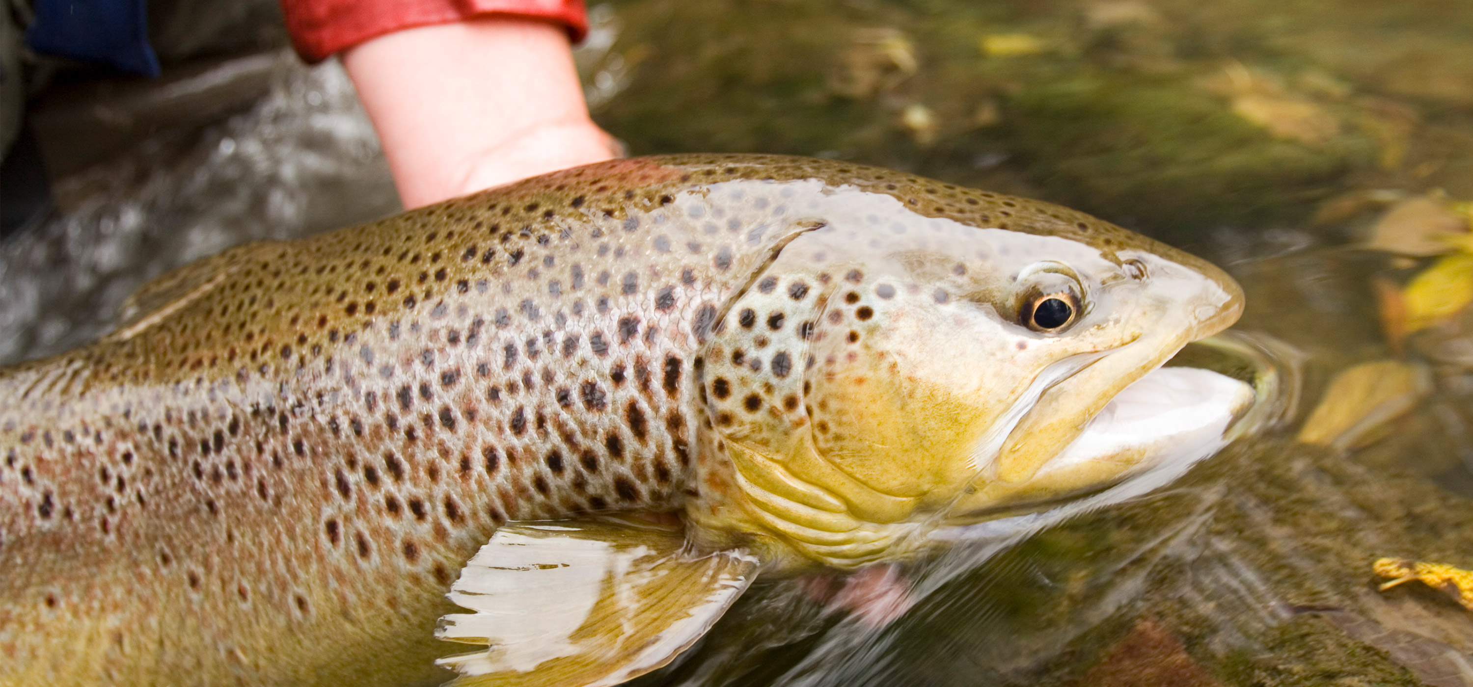 Headshot of a brown trout